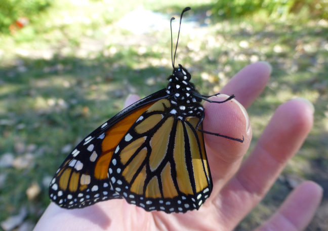 Monarch butterflies in North America may face quasi-extinction in the next 20 years unless something is done to expand their population capacity. Photo courtesy of ISU Department of Plant Pathology and Microbiology.