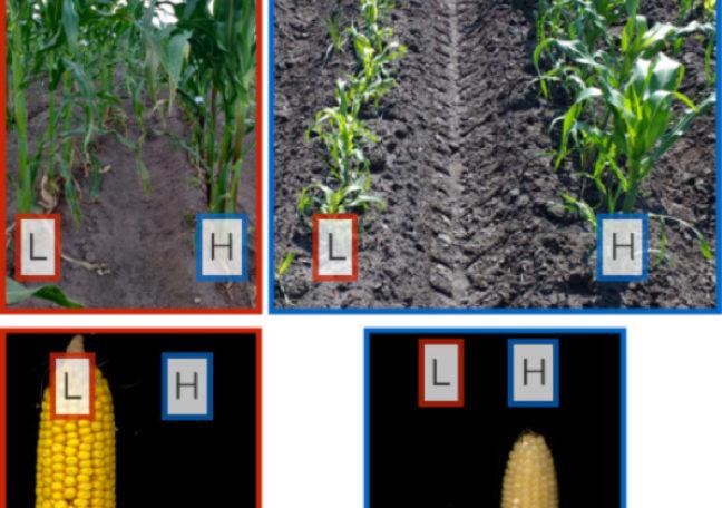 Lowland and highland corn varieties